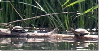 Lake Turtles